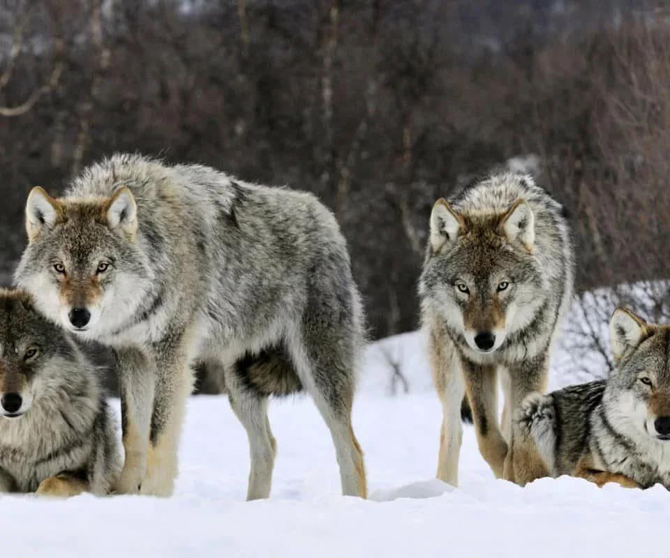 Антитеррористическое подразделение защищает население от …. волков